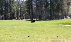 Black Bear Cubs Wrestle on Golf Course