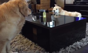 Golden Retriever puppy outsmarts older brother during chase