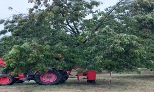 Shaking Ice to Save The Pecan Trees