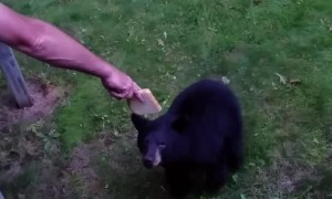 Hand Feeding a Bear Some Bread