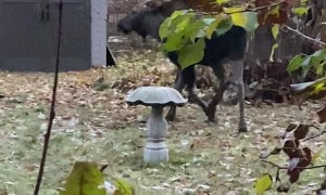 Young Moose Nearly Bouts with Bird Bath
