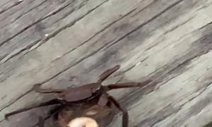 Crab Eats Cheerio