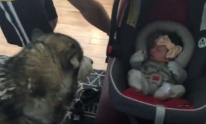 Alaskan Malamute meets newborn baby and it's the cutest sight