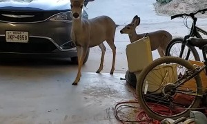 Mule Deer Eat Snacks in Garage