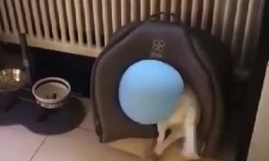 Jack Russel Takes Balloon into His House