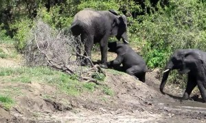Baby gets encouragement from mom elephant during river cross