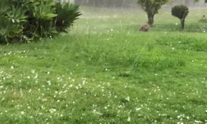 Bulldog Chases Hailstones Like Balls Falling From the Sky
