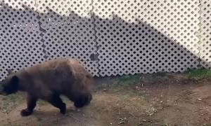 Pair of Bears Play at the Pool
