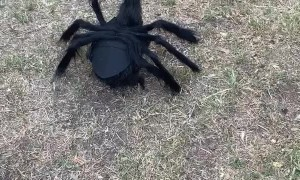 Spider Chicken Has Feathered Friends Concerned
