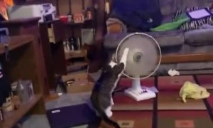 Kitty Plays With Pedestal Fan