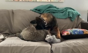 Raccoon and Pooch Play on the Couch