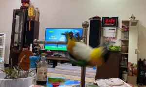 Birdie Body Builder Does Pull-Ups