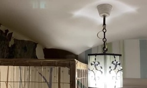 Raccoon Sneaks Around in Ceiling