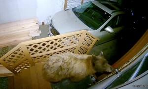 Curious Bear Peeks in Door