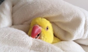 Cozy parrot would rather stay in bed all morning