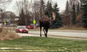 Massive Bull Moose Going for a Stroll