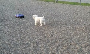Fast Doggie Chases RC Car