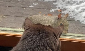 Cat Tries Playing with Squirrel Through Glass
