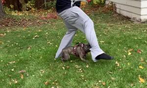 Pug Grabs Onto Mans Pants