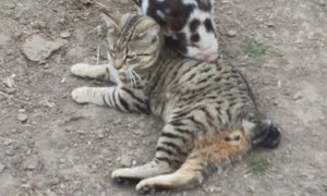 Piglet Tries to Play with Cat