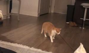 Cute Cat Entertains Itself