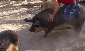 Dude Jumps in on the Hog Rodeo
