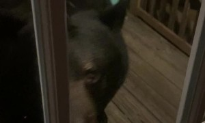 Huge Black Bear Greets Human at the Door