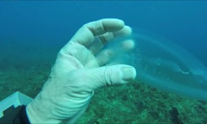Diver Finds Jelly-Like Species while Diving in Gozo.
