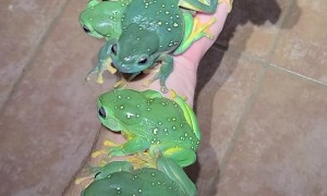 Magnificent Treefrogs