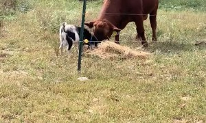 Cow and Goat Playing Together