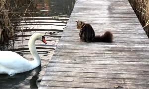 Cat Swats at Swans