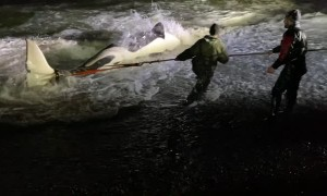 People Work to Rescue Whale