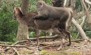 Monkey Violates Deer in Japan