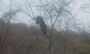 Large Black Bear Climbs Small Tree