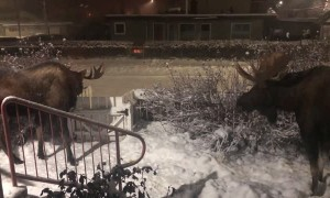 Moose Have an Early Morning Hangout in Front Yard