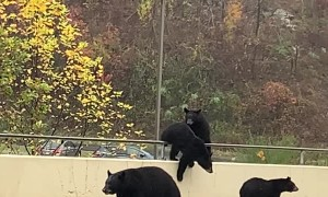 Bears Stroll Down Road in Gatlinburg