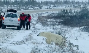 Polar Bear Walks Close to People