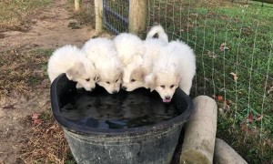 Great Pyrenees Puppies Enjoy a Drink in Unison