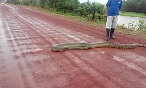 Big Snake Slithers across Road in Venezuela