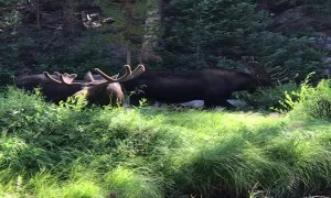 Campers Observe Moose Having a Munch