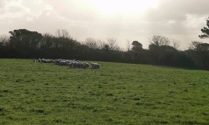 Peculiar Goat Herds Sheep like a Border Collie