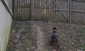 Boxer Showcases Ability to Jump 6 Foot Tall Fence