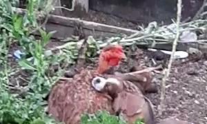 Chicken Adopts Litter of Puppies