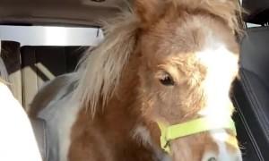 Transporting a Miniature Horse in a Denali