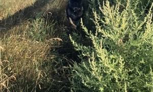 Frenchie Looks Majestic Running through Grass