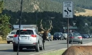 Elk with Attitude Uses Antlers