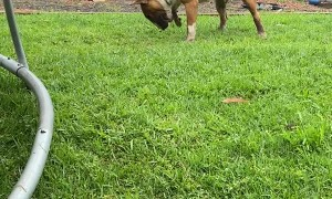 Bouncy Bull Terrier