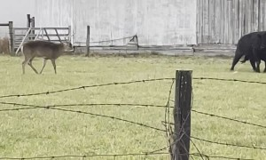 Bull and Buck Bout in Field
