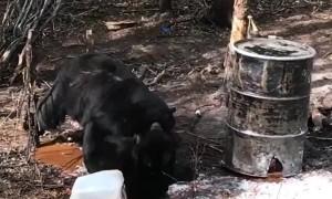 Black Bears Battle It Out