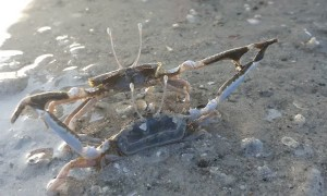 Crabs Battle in the Shallows